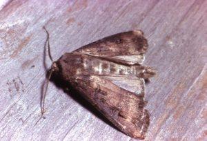 Adult Bogong Moth, Agrotis infusa